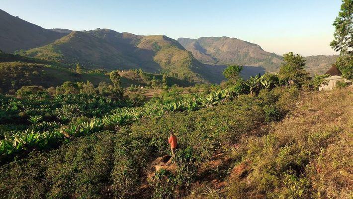 La culture du café pour un avenir meilleur au Zimbabwe