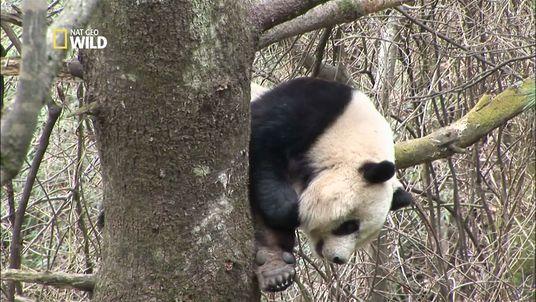 Combat de pandas