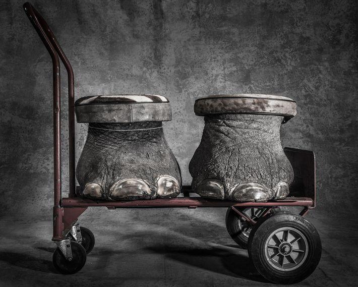 Deux tabourets fabriqués à partir de pieds d'éléphants.