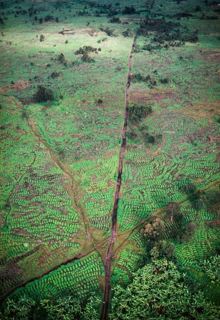 Une plantation de thé, dans la région du Nord-Kivu.