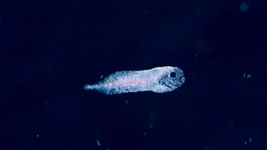 Poisson fantôme d'eau profonde découvert à 2 400 mètres de profondeur