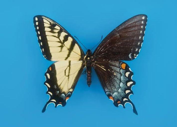 Le papillon glauque (Papilio glaucus) est soit entièrement foncé soit tout de jaune vêtu, mais ce ...