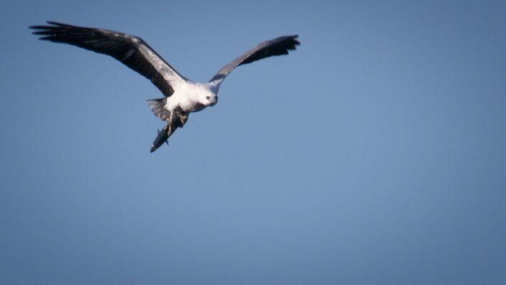 Comment les aigles chassent-ils en haute altitude ?