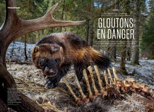 Gloutons en danger