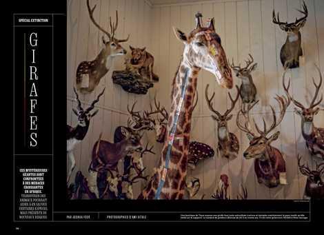 Spécial extinction : Girafes