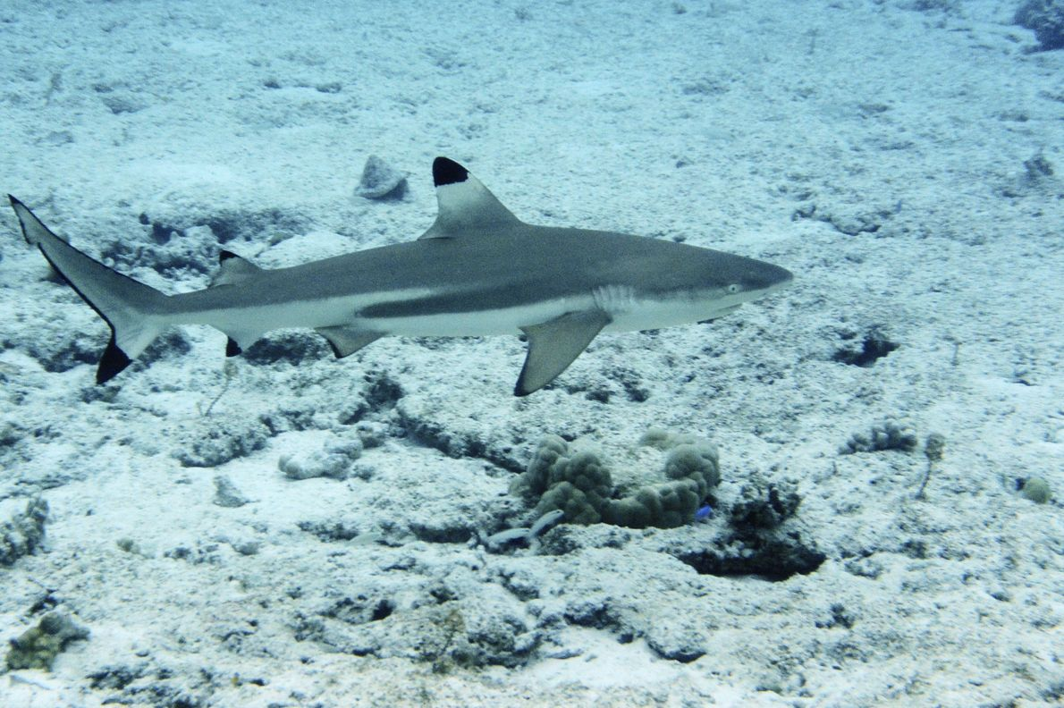 Les requins à pointes noires (Carcharinus melanopterus) nagent souvent dans des zones peu profondes, près des ...