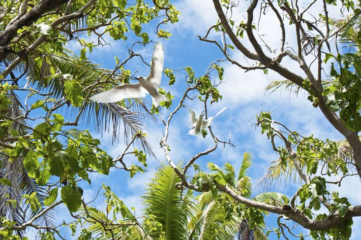 Dans la forêt de Pu'atea (nom polynésien du pisonia, arbre typique de l'atoll) sur le motu ...