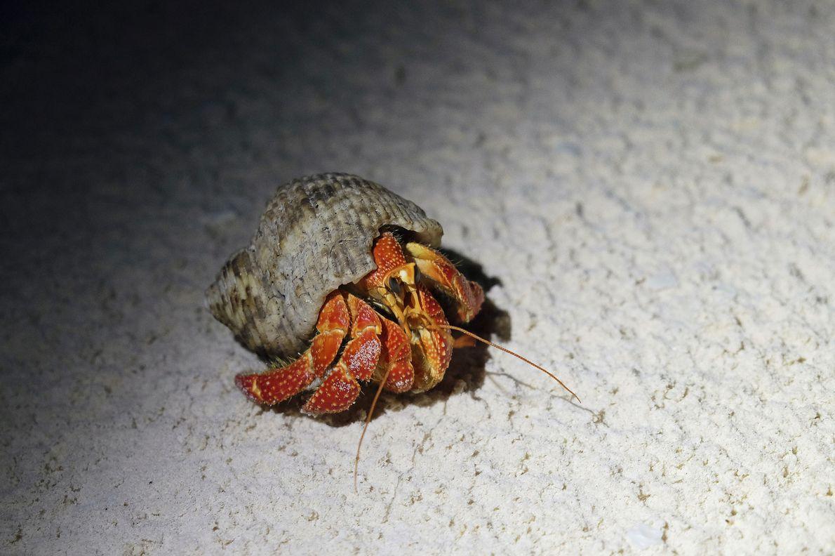 Ce bernard-l'hermite de l'espèce Coenobita perlatus est dépourvu de carapace. Pour se protéger, il occupe souvent ...