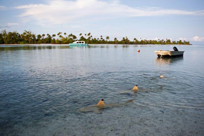 Le soir, les requins pointes noires s'approchent du rivage pour chasser.