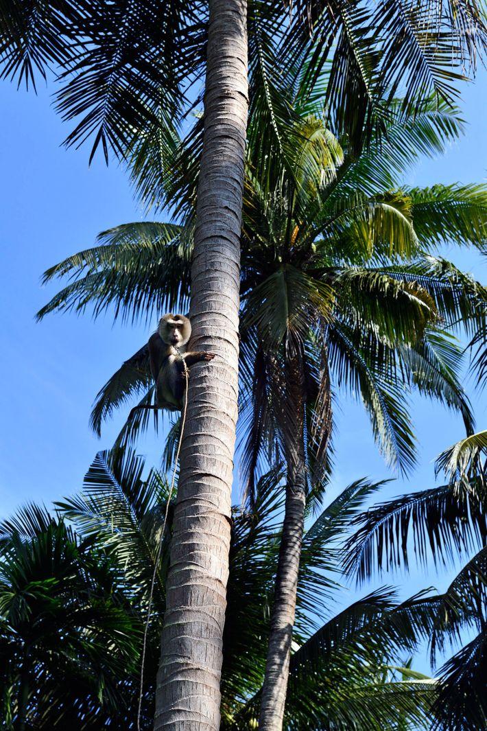 Ce singe monté sur un cocotier peut ramener jusqu'à  700 noix en une demi-journée.