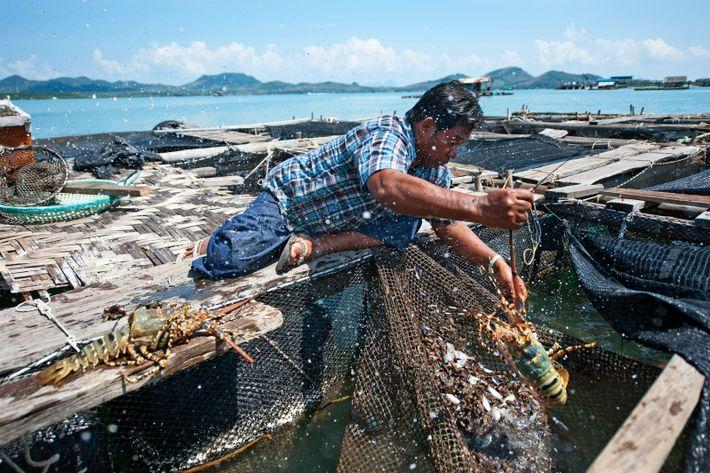 Prasit a été le premier à créer une ferme de homards au large de l'île. Avant ...