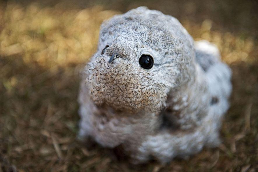Trouvée par un agent du Parc, cette boule de plumes aux grands yeux ronds – probablement ...