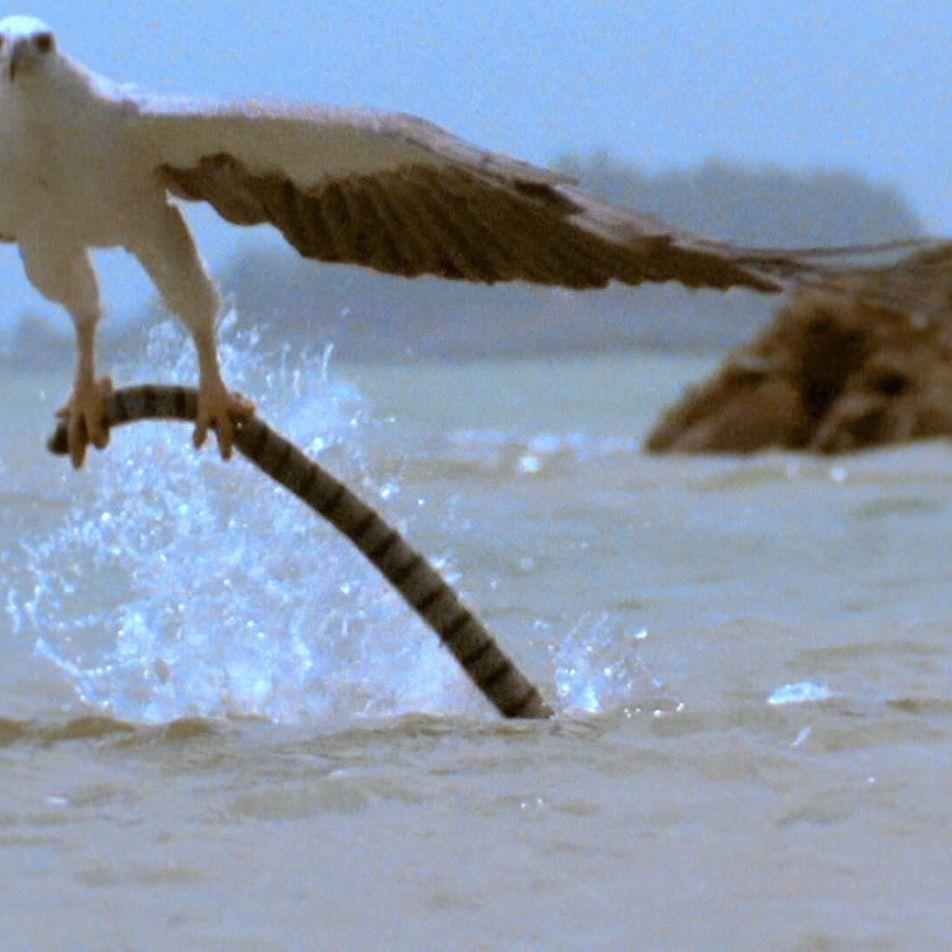 Un aigle affronte un serpent très venimeux