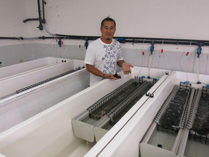 Chin-Long Ky, chercheur en génétique à l'Ifremer, sélectionne des juvéniles d'huîtres perlières de P. margaritifera présentant ...