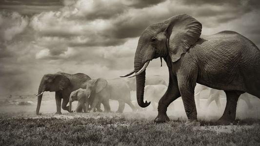 Un gène ''zombie'' aiderait les éléphants à combattre le cancer