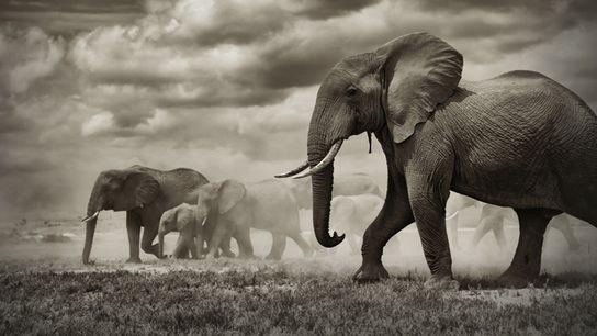 Malgré leur taille impressionnante, les éléphants ne sont que rarement touchés par le cancer.