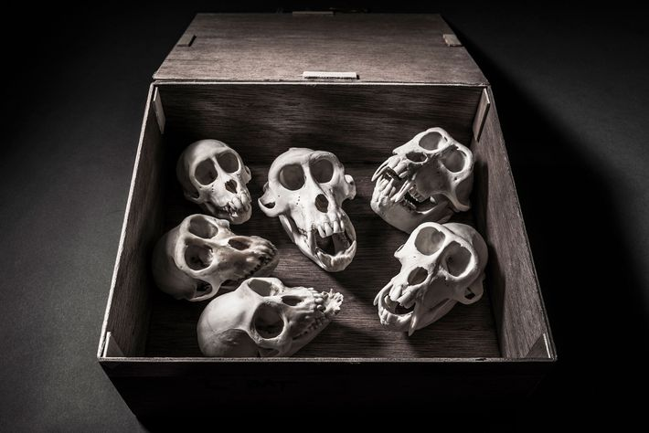 Des crânes de singes menacés d'extinction.