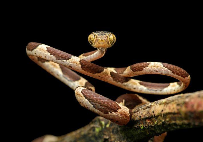 L'Imantodes cenchoa se nourrit que de lézards et de grenouilles. Sa morphologie (petite taille et grands ...