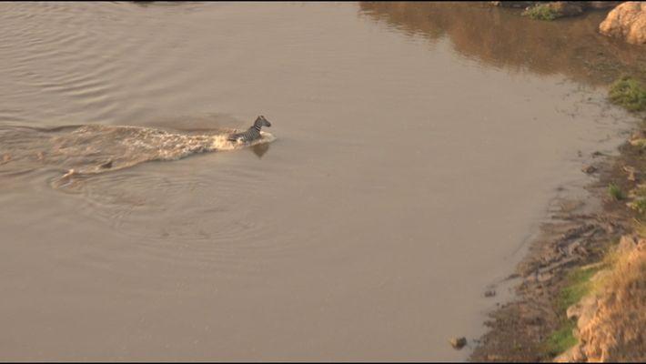Ce zèbre échappe aux crocodiles pour tomber dans la gueule des lions
