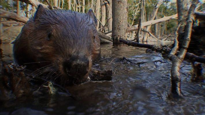 Le rôle crucial des castors dans l'écosystème forestier