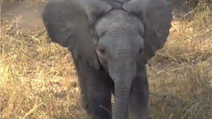 Un éléphant irascible