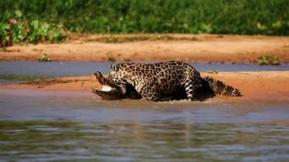 Jaguar vs. Caïman