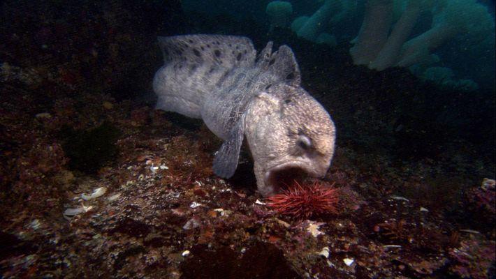 Le poisson loup à ocelles