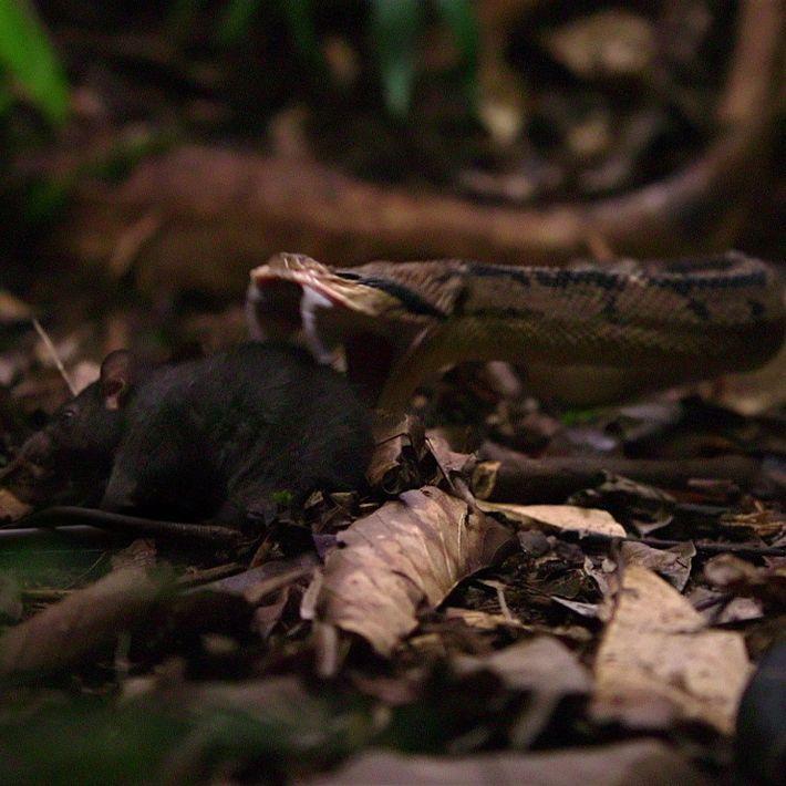 La venimeuse vipère à tête noire