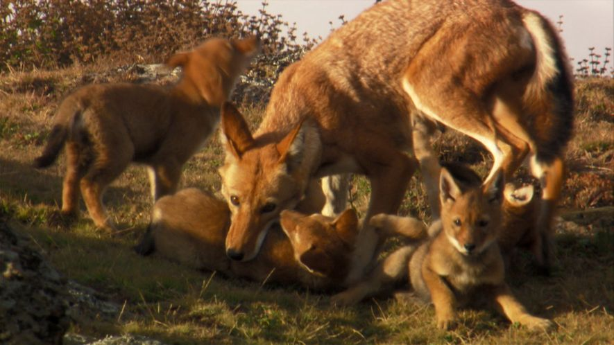 Les loups d'Abyssinie