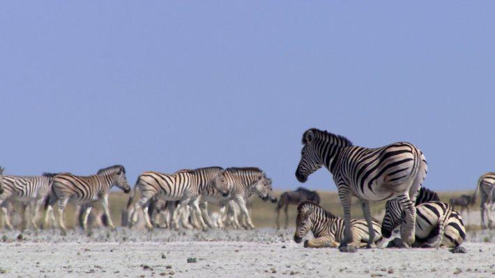 Les zèbres risquent leurs vies pour se rendre dans ce lieu chaque année