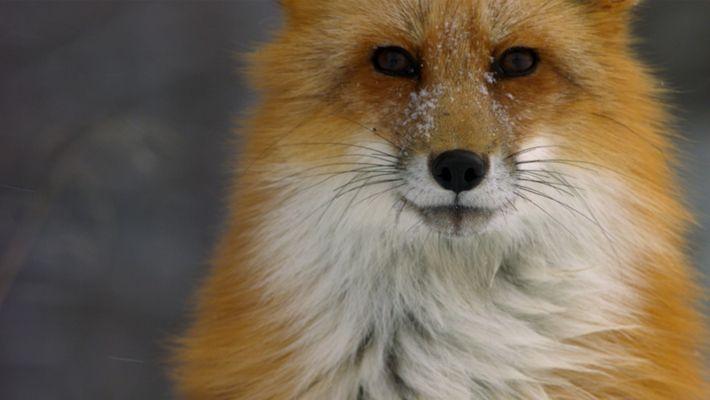 Un renard roux chasse des campagnols