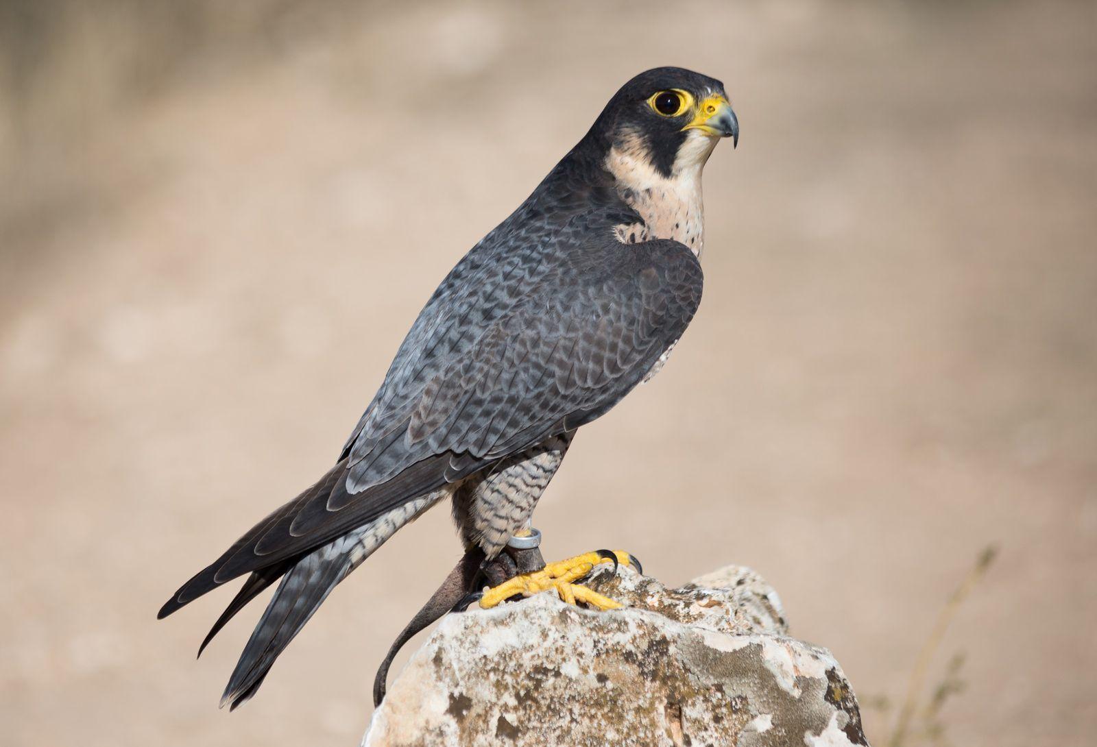 Faucon pèlerin - Falco peregrinus.