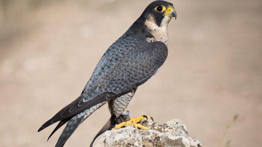 Les faucons pèlerins font un retour sous haute surveillance à Paris