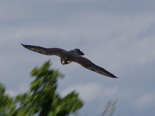 Le secret de la rapidité des faucons pèlerins (enfin) dévoilé