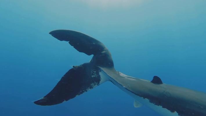 Sur les traces des requins les plus recherchés au monde