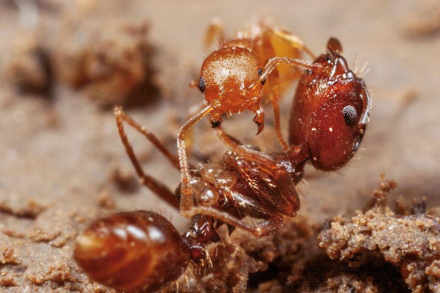 Les fourmis esclavagistes (Protomognathus americanus) volent les larves et les nymphes d'autres espèces pour renforcer les ...
