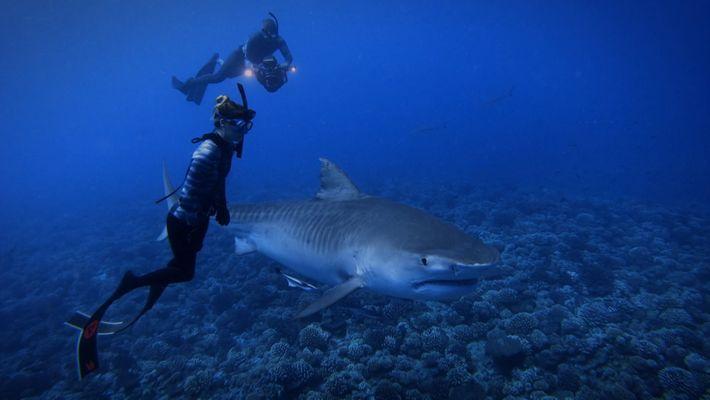 Plongez aux côtés des requins-tigres