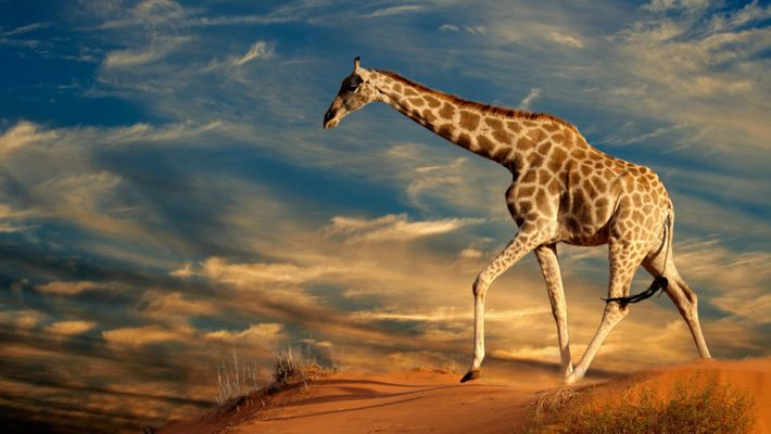 10 fun facts sur les girafes