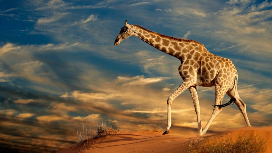 Journée internationale de la girafe. 10 FUN FACTS SUR LES GIRAFES