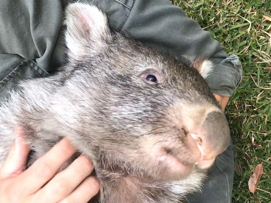 George le wombat démarre sa nouvelle vie sauvage