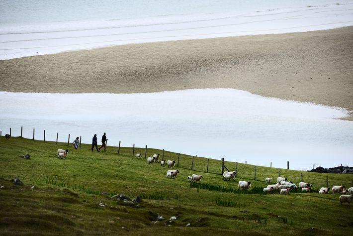 Sur Harris, les moutons des Hébrides, dont l'épaisse toison est le trésor de l'île, envahissent la ...