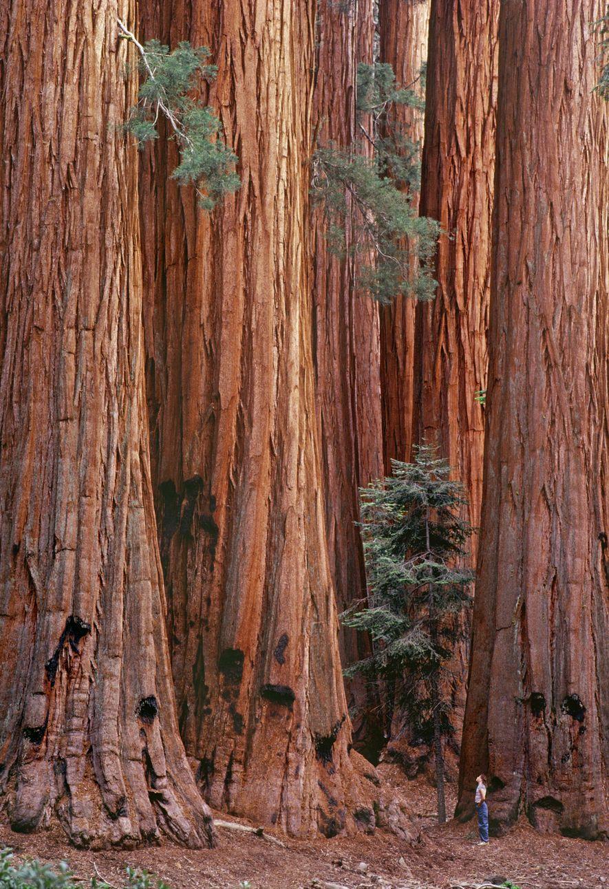 Le parc abrite des séquoias haut de plus de 80 m, soit l'équivalent d'un bâtiment de ...