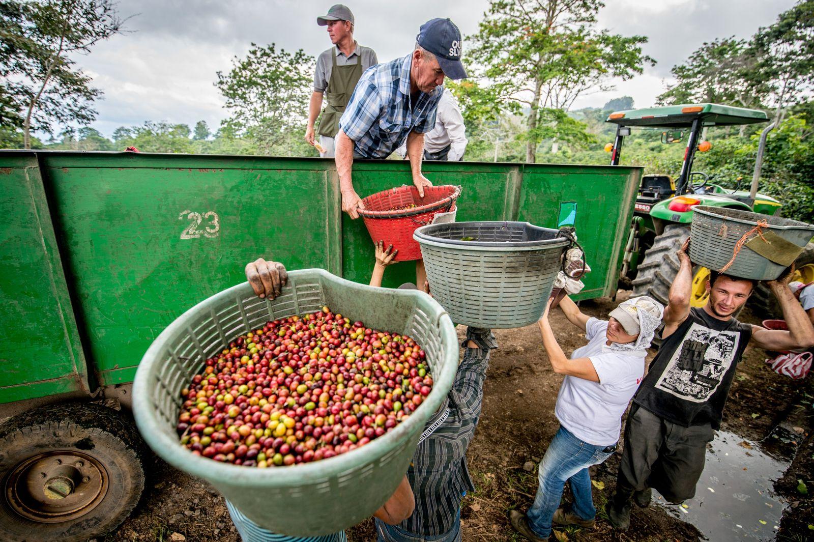 Des ouvriers agricoles chargent des cerises de café sur une remorque, à Aquires. Chaque fruit contient ...