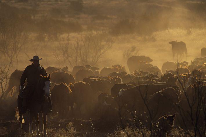 Rassemblement du bétail, marquage, recherche des bovins perdus... le travail quotidien d'un cow-boy du Double Mountain ...