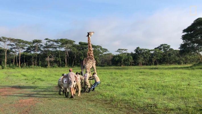 Sauvetage d'une girafe dans le sanctuaire de Mikembo