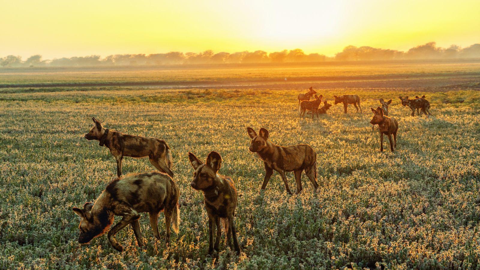 Les lycaons ont quasiment disparu de Gorongosa durant la guerre. Maisle parc a besoin d'eux, car ...