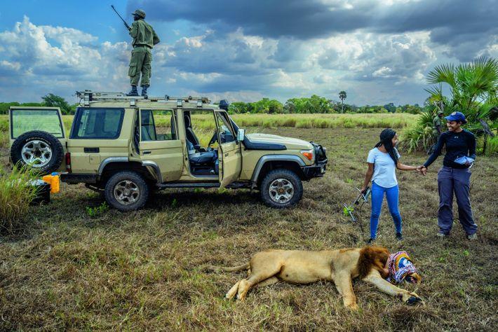 Un lion mâle a été endormi, le temps de remplacer son collier GPS. Mercia Angela (avec ...