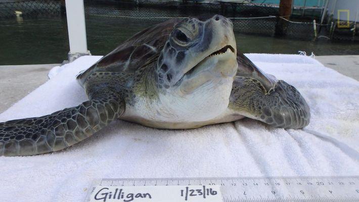 Une tortue de mer subit une opération chirurgicale en Floride