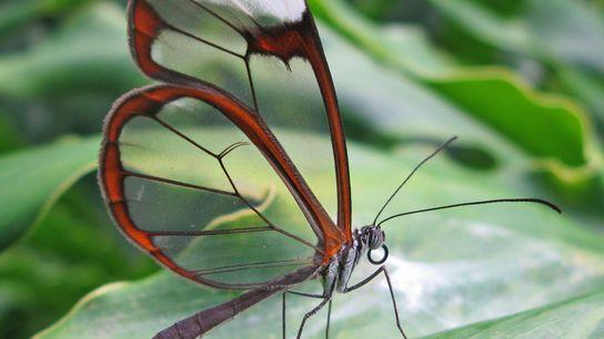 Greta oto, un papillon vivant dans les forêts humides d'Amérique centrale a inspiré la création d'un ...