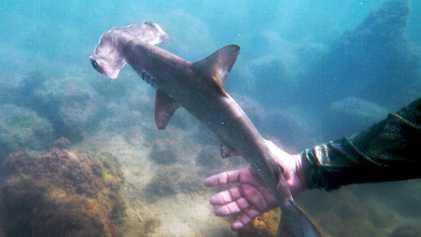 Voici une pépinière de requins-marteaux cachée aux Galapagos